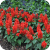 Mojave Improved Awarded Best Salvia Splendens