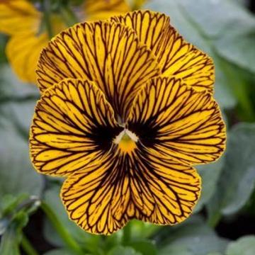 F1 Tiger Eye Viola Floranova