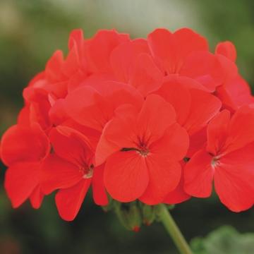 Horizon Rose Geranium 10 Seeds