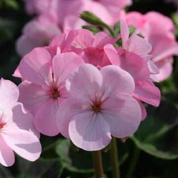 10 Seeds Inspire Rose Geranium